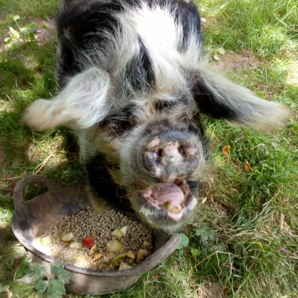 Our Pet of the Month for July is precious Suzie the Kune Kune pig.
