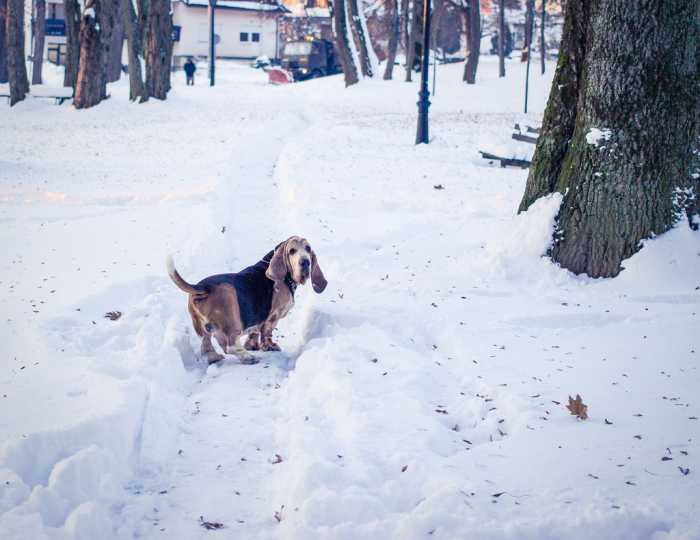 Bassett Hound in snow