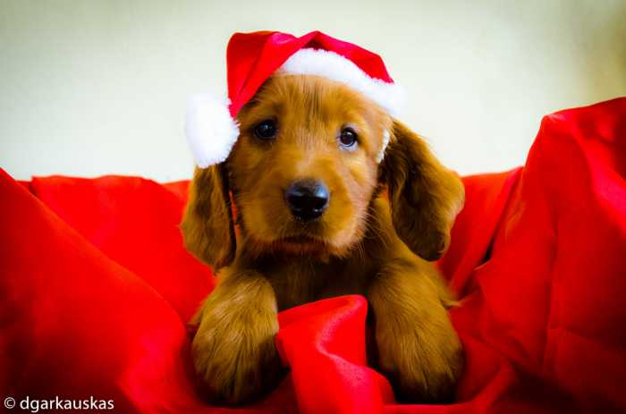 A Puppy For Christmas.How To Care Train A New Puppy At Christmas Homesitters Ltd