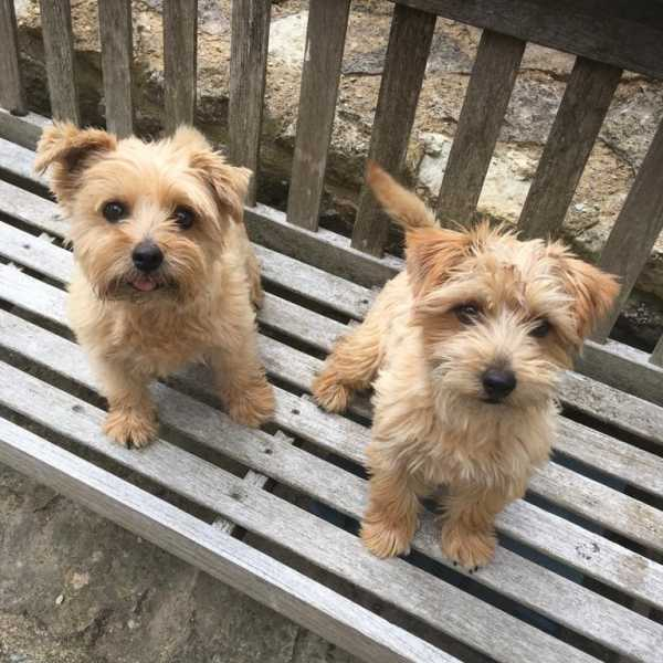​Our Pet of the Month for September 2020 is these adorable Norfolk Terriers Molly and Maggie